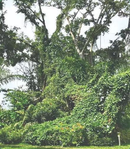 森林城市大榕树